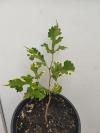 Morus alba 'Snowflake Lobed'  шелковица вариегатная - подросшее растение