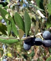Оливковое дерево (укорен. очень долго)