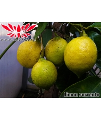 Лимон Ovale Di Sorrento