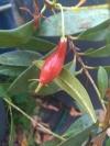Dwarf Eugenia calycina-карликовая евгения
