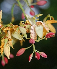 Тамаринд индийский, tamarindus indica