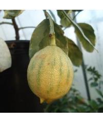 """C.limon """"Foliis variegatis Sanguineum"""",Лимон вариегатный """"Сангвинеум"""""""