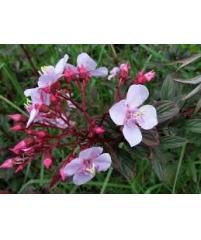 Гетероцентрон розовый-Heterocentron subtriplinervium