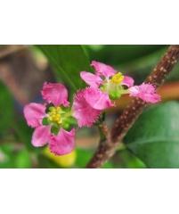 Malpighia glabra variegata (укор.черенок)