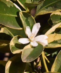 Citrofortunella Microcarpa 'Variegata'