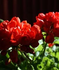 Pelargonium Red Pandora