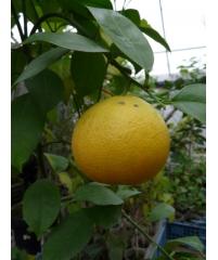 "Апельсин ""Бонанза""  C. sinensis Skaggs Bonanza"