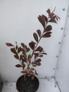 Lagerstroemia indica 'red imperator -растение с фото