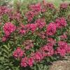 Lagerstroemia raspberry all the best -растение с фото