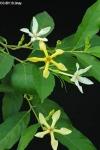 Atractocarpus audasii  (новинка)