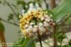 "Morinda jasminoides ""Sweet Morinda"" Редкость"