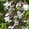 Medinilla Dolichophylla