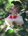 Hibiscus Insularis  (phillip island hibiscus)-редкость