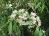 Мирт иволистный - Blepharocalyx salicifolius