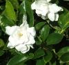 Gardenia sp. small leaf-мелкий листик