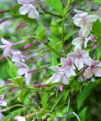 Jasminum stephanense-jasminum beesianum hybrid