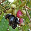 Syzygium cumini