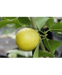 """Citrus Limon """"DOUX DE Mediteranea"""""""
