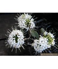 Pavetta lanceolata  Куст невесты
