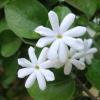 Jasminum molle,