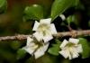 Randia parvifolia (Coddia rudis)