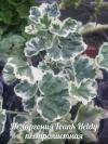 Pelargonium frank heldy var