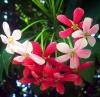 Квисквалис индийский