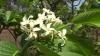 Holarrhena pubescens Холарена пушистая (настоящая)