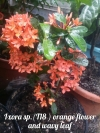 Ixora sp.(T18 ) orange flower and wavy leaf