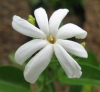 Jasminum flexile var. Hookerianum