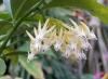 Hoya multiflora variegata