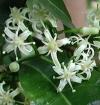Acronychia oblongifolia  (черенки не большие)-редкие