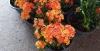 Иксора двухцветная (цветет как на фото)