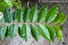 Psidium angulatum (редкость)