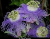 Passiflora garcke