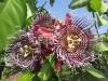 Пассифлора Прециосо (Passiflora Precioso)