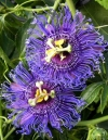 Passiflora blue velvet