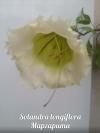 Solandra longiflora -соландра