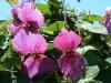 Далешампия диоскореелистная (Dalechampia dioscoraefolia)