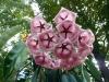 Хойя archboldiana pink