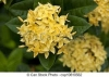 Ixora sp.(T01) variegata (yellow flower)