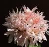 Пеларгония vectis spider