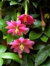 Passiflora mollissima