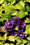 Bougainvillea golden jackpot ( НОВИНКА)