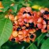 Harpullia pendul - Австралийское тюльпанное дерево -Новинка