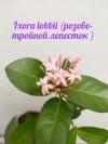 Ixora lobbii (pink and triple petal)