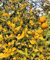 Citrus Poncirus Trifoliata Flying Dragon, кислый апельсин