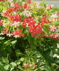 Квисквалис индийский, Quisqualis indica (махровый)