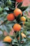Кукле (Citrus x 'Kucle') - гибрид фортунеллы Маргарита и клементина (Citrus japonica 'Margarita' xCitrus сlementina)