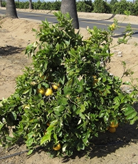 citrus star ruby grapefruit